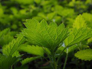 najlepsze zioła na wątrobę